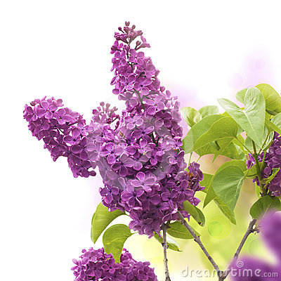 1000+ images about Lilacs For Tattoo on Pinterest.