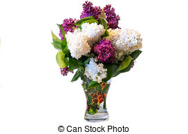Stock Photography of mix of purple and white common lilac (syringa.