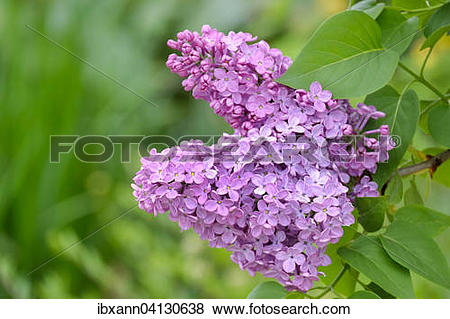 Pictures of Common Lilac (Syringa vulgaris), violet flowers.