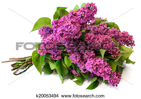 Stock Photo of purple common lilac (syringa) bouquet isolated on.