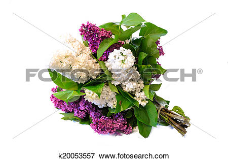 Picture of mix of purple and white common lilac (syringa) bouquet.