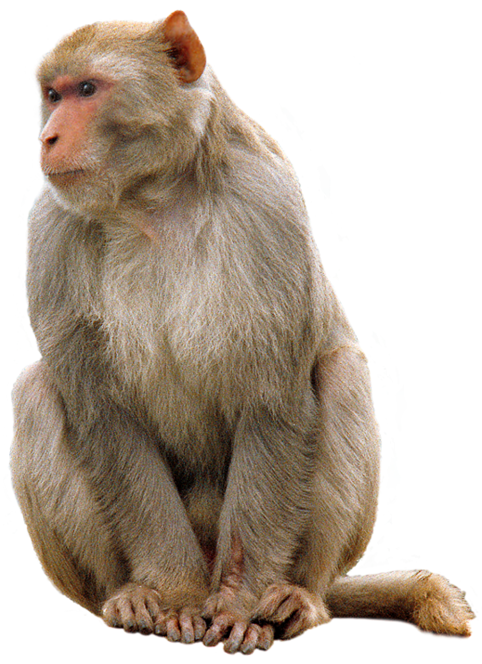 Monkey PNG Transparent Images.