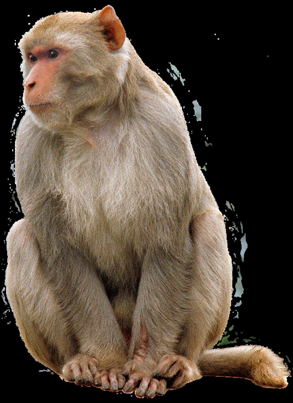 Monkey PNG Transparent Images.