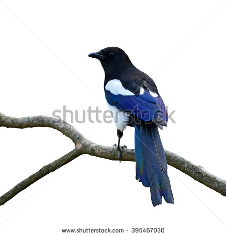 Magpie Stock Photos, Royalty.