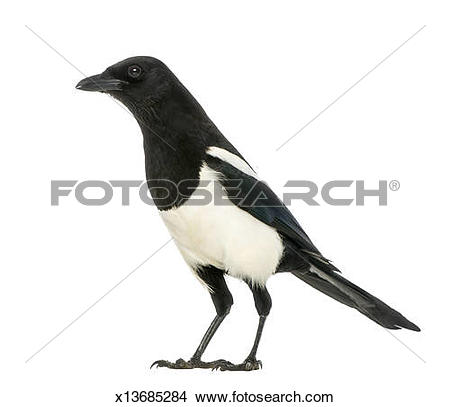 Stock Photo of Side view of a Common Magpie, Pica pica x13685284.