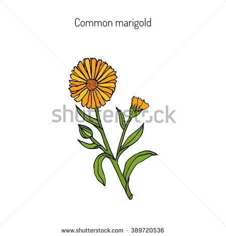 Pot Marigold Stock Vectors, Images & Vector Art.