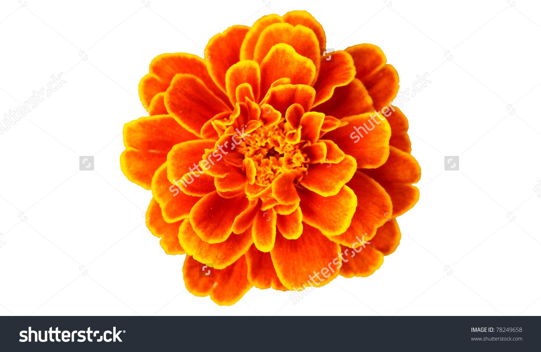 French Marigold Clip Art.