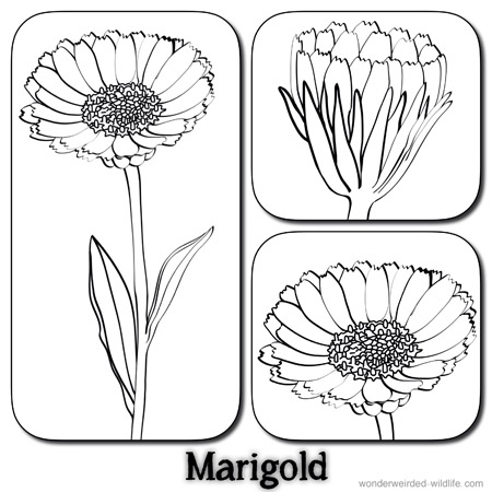 Marigold Flower Pictures,Calendula Flower Pictures,our 100.