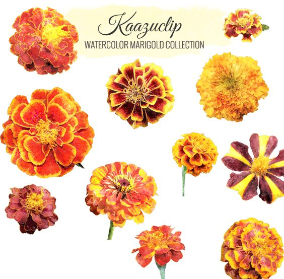 Watercolor Marigold Collection by Kaazuclip on Creative Market.