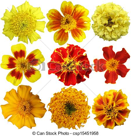 Stock Images of Marigold flowers set on a white background.