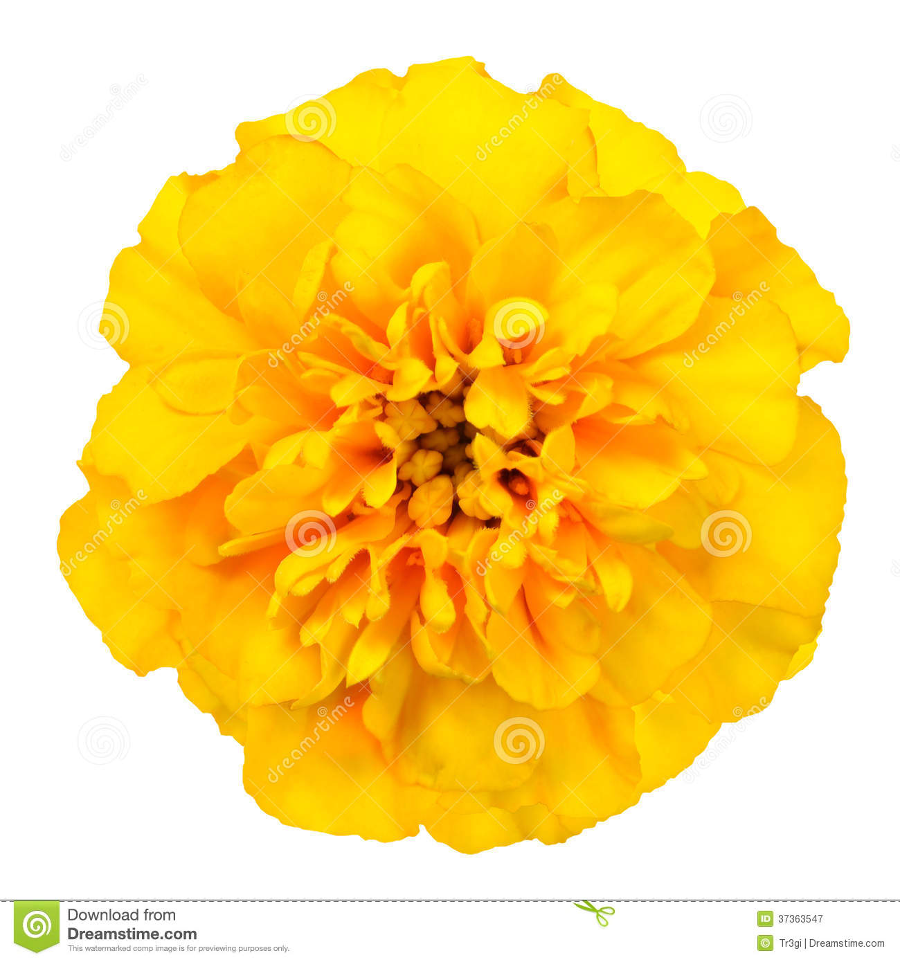 Yellow Marigold Flower Isolated On White Background Royalty Free.