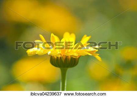 Picture of Common marigold (Calendula officinalis), Lower Saxony.