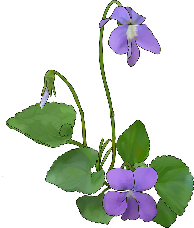 Common Meadow Violet: Gifts & Merchandise.