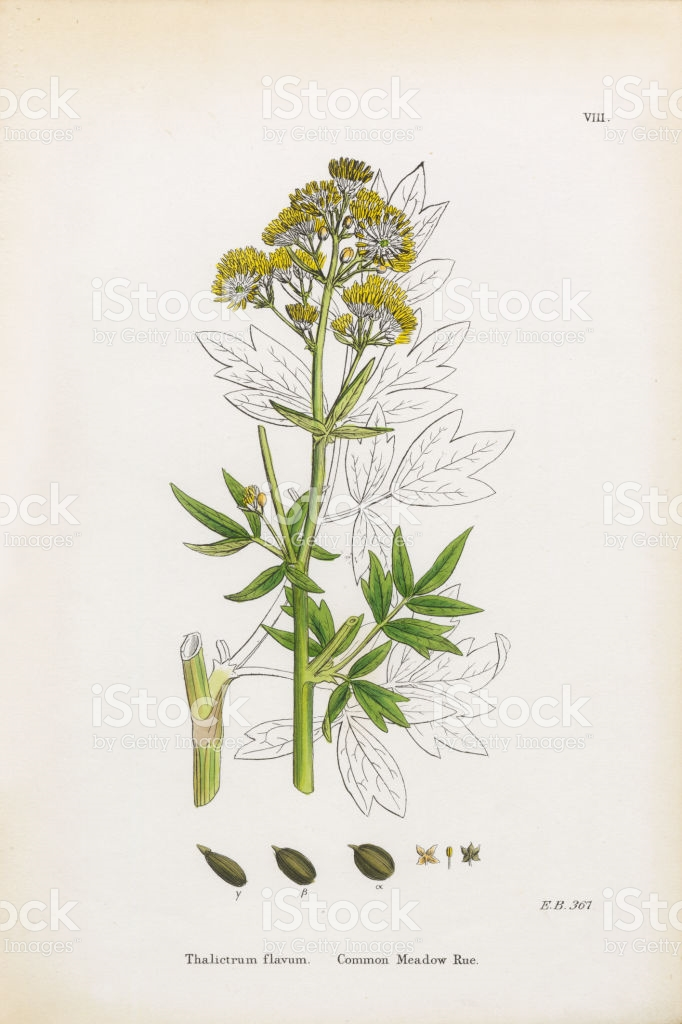 Common Meadow Rue Thalictrum Flavum Victorian Botanical.