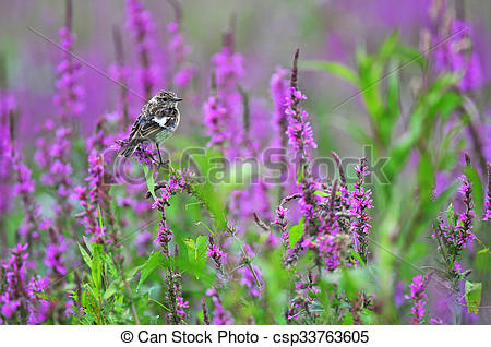 Stock Illustration of Common stonechat standing on a purple flower.