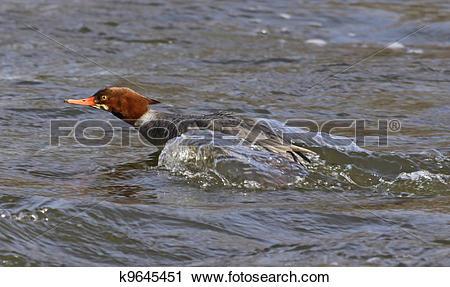 Stock Photography of Darting Female Common Merganser k9645451.