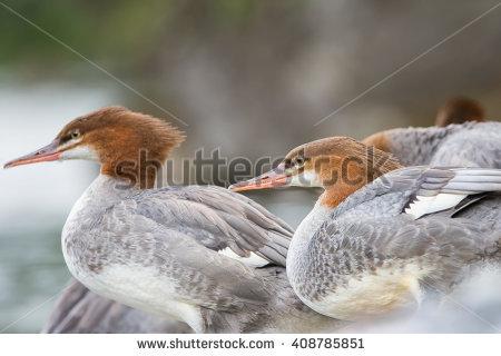 Merganser Ducklings Clip Art.