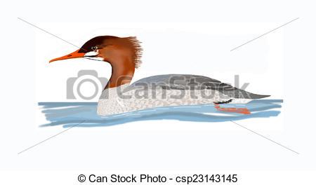 Drawing of Common Merganser female.