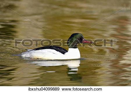 Stock Photograph of Common Merganser or Goosander (Mergus.