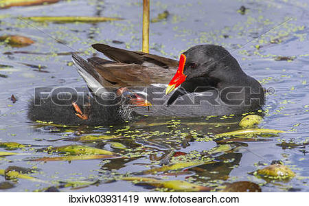 "Stock Photograph of ""Common Moorhen (Gallinula chloropus) feeding."