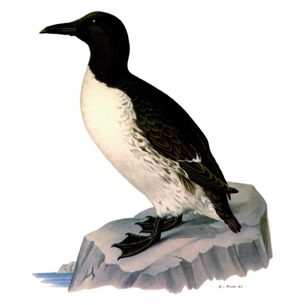 Common Murre (free download).