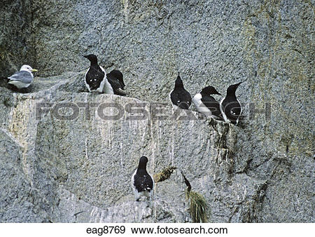 Stock Photograph of a SEAGULL nesting amidst the COMMON MURRES.