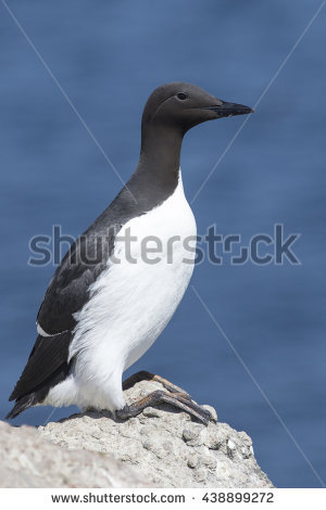 Murre Stock Photos, Royalty.