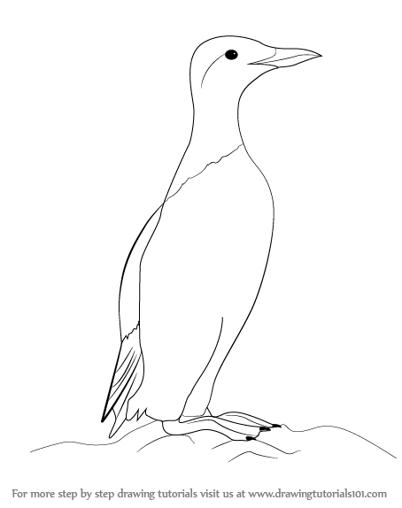 Learn How to Draw a Common Murre (Seabirds) Step by Step : Drawing.
