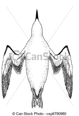 Stock Illustration of Common Murre from below.