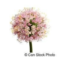 Stock Photography of Flower of Onion, Allium cepa. The onion also.