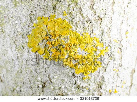 Common Orange Lichen Stockfoto's, rechtenvrije afbeeldingen en.