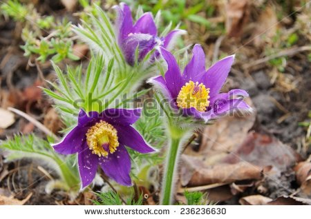 Purple Pasque Flowers Stock Images, Royalty.