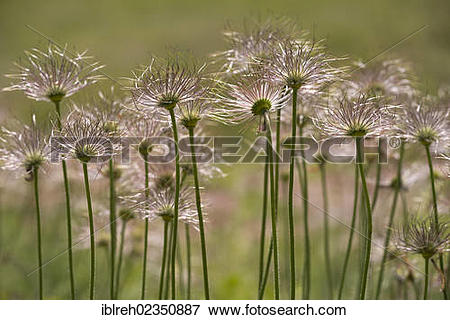 "Picture of ""Common Pasque Flower (Pulsatilla vulgaris), seed heads."