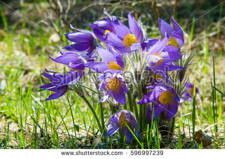Pasqueflower Stock Images, Royalty.
