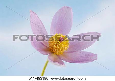 Stock Images of Common Pasque Flower (Pulsatilla vulgaris) b11.