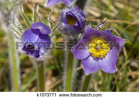 Stock Photography of Pasque flower k1073771.