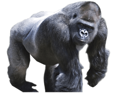 Western lowland gorilla PNG Images.