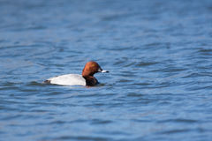 Common Pochard Duck Royalty Free Stock Images.