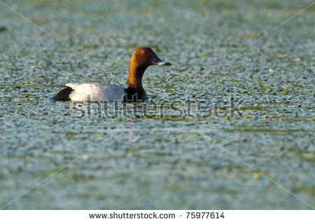 Common Pochard Drake On Water Stock Photo 75977614 : Shutterstock.