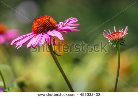Echinacea Stock Photos, Royalty.