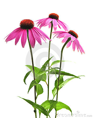 Eastern Purple Coneflower (Echinacea Purpurea) Royalty Free Stock.