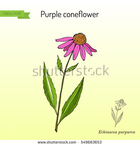 Purple Coneflower Stock Vectors, Images & Vector Art.