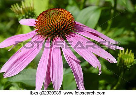"Stock Images of ""Purple coneflower (Echinacea purpurea), flower."
