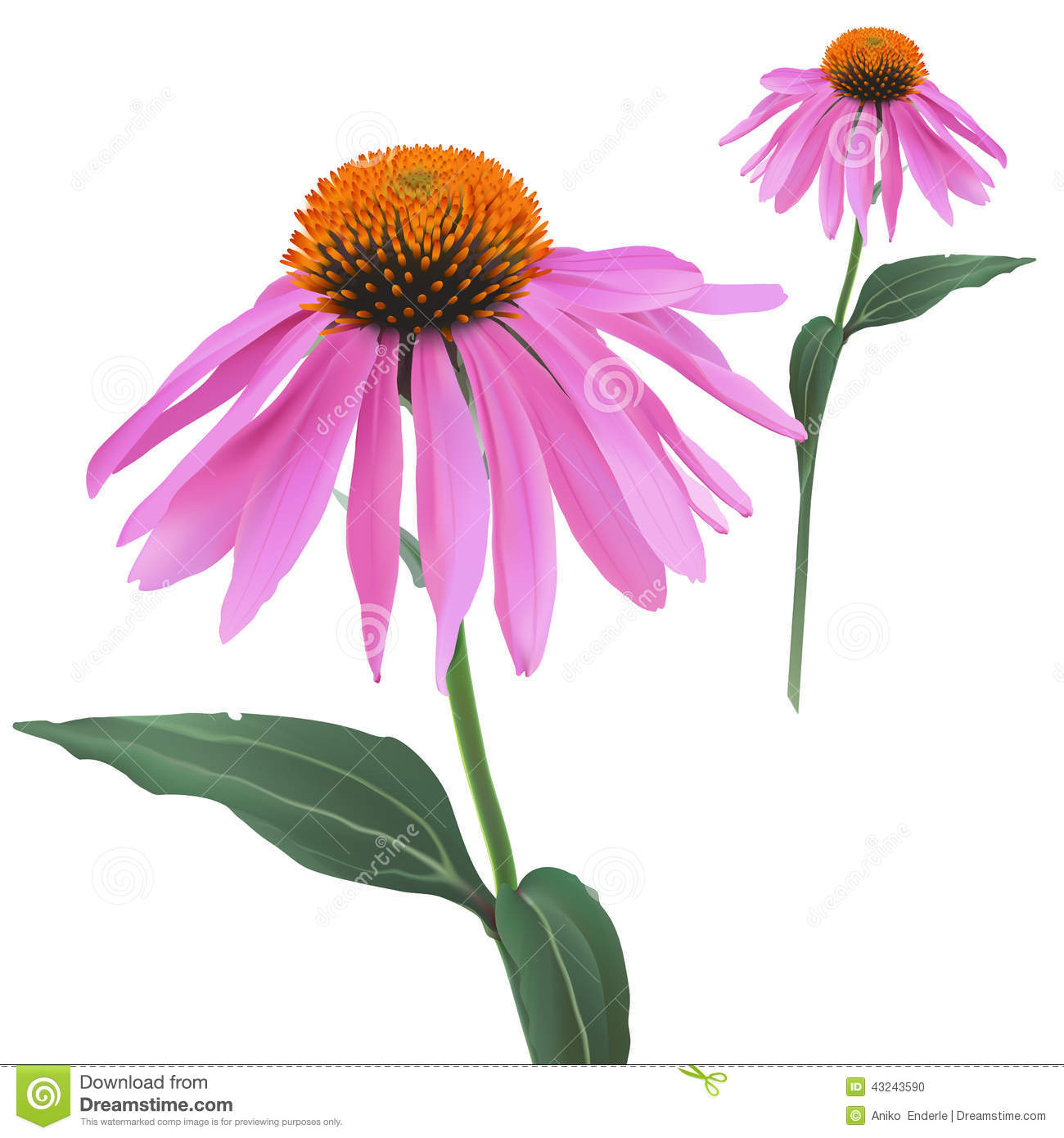 Coneflower Stock Illustrations.
