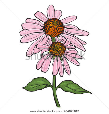 Purple Coneflower Stock Vectors, Images & Vector Art.
