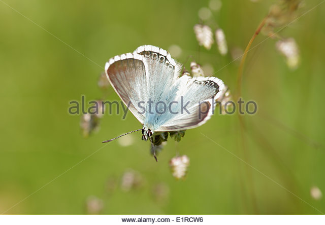 Pale Grass Blue Butterfly Stock Photos & Pale Grass Blue Butterfly.