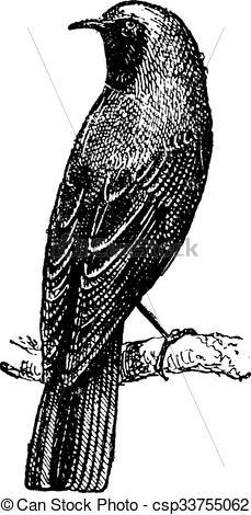 Clip Art Vector of Redstart perched on branch, vintage engraving.