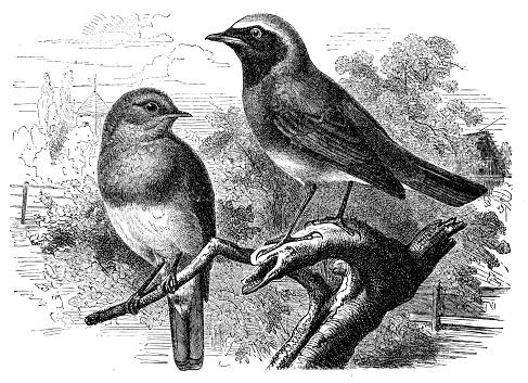 Robin Bird Clip Art, Vector Images & Illustrations.