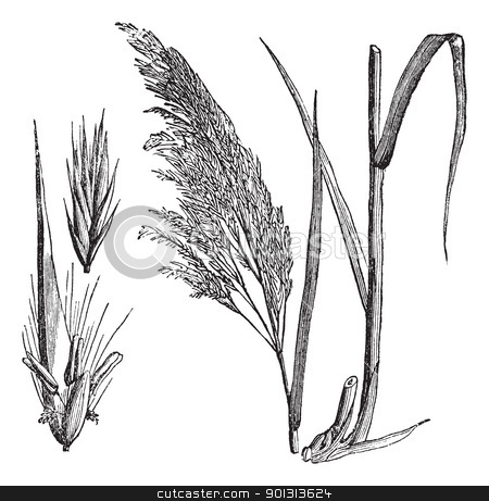 Common reed (Phragmites communis), vintage engraving stock vector.