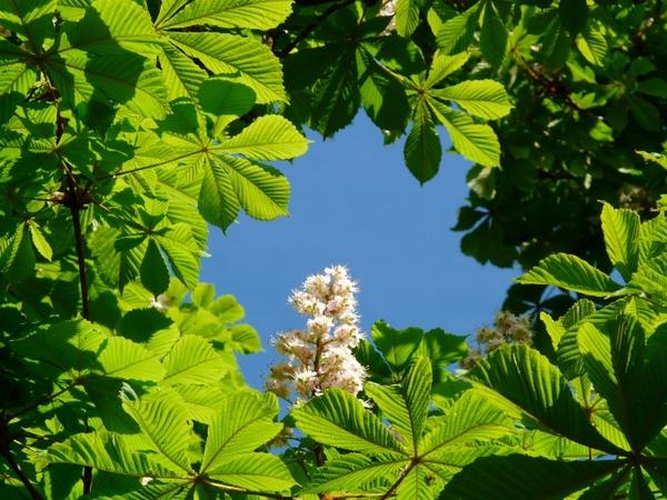 Ordinary rosskastanie chestnut flowers Free stock photos in JPEG.